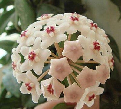 10 oder 20 samen porzellanblume wachsblume hoya zimmerpflanze ebay. Black Bedroom Furniture Sets. Home Design Ideas