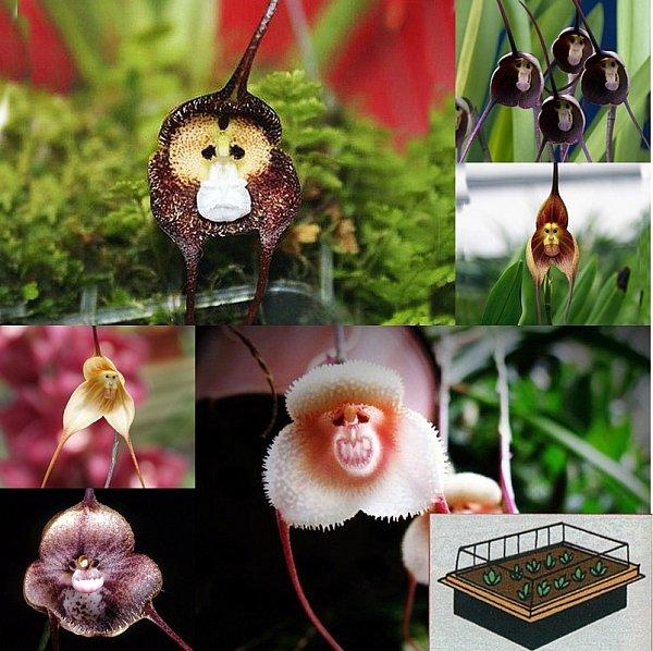 3 teiliges set mini gew chshaus 10 affengesicht orchideen samen anzuchterde x ebay. Black Bedroom Furniture Sets. Home Design Ideas